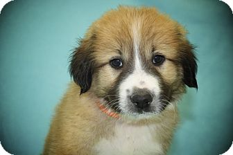 St. Bernard Mix Puppy for adoption in Broomfield, Colorado - Dopey