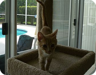Domestic Shorthair Kitten for adoption in Tampa, Florida - Demetrios