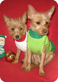 Yorkie, Yorkshire Terrier Mix Puppy for adoption in Easton, Illinois - Twinkle & Sparkle