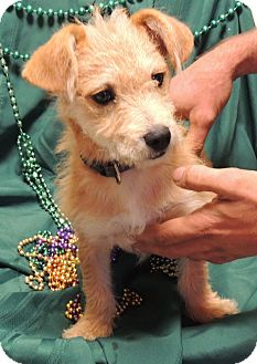 Terrier (Unknown Type, Small) Mix Dog for adoption in Hammond, Louisiana - Teddy
