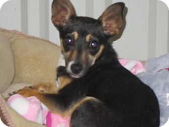 Chihuahua Mix Puppy for adoption in Lubbock, Texas - Babe