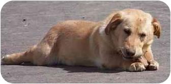 Basset Hound/Labrador Retriever Mix Dog for adoption in Columbus, Indiana - Hoover