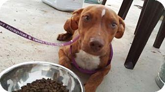 Labrador Retriever/Vizsla Mix Puppy for adoption in Perris, California - Chase