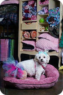 Maltese Dog for adoption in Kansas city, Missouri - Dinah