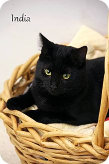 Domestic Shorthair Cat for adoption in Wilmington, Delaware - India