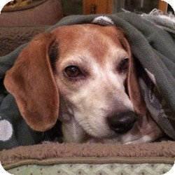 Beagle Mix Dog for adoption in Eatontown, New Jersey - Rascal