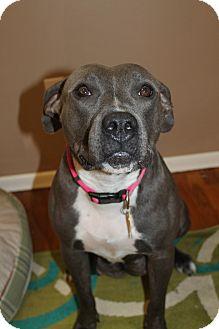 Pit Bull Terrier Dog for adoption in Spokane, Washington - Piper