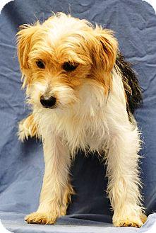 Jack Russell Terrier/Maltese Mix Dog for adoption in Beacon, New York - Skipper
