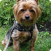 Adopt A Pet :: Rocko - PENDING - kennebunkport, ME