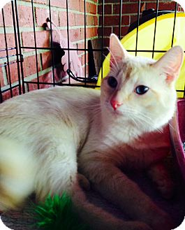 Siamese Cat for adoption in Franklin, Indiana - Spyro