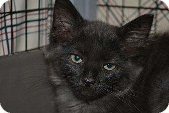 Domestic Shorthair Kitten for adoption in Edwardsville, Illinois - Leon