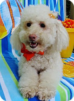 Poodle (Miniature)/Bichon Frise Mix Dog for adoption in Irvine, California - Cookie