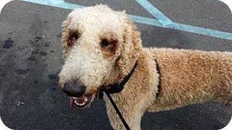Poodle (Standard) Dog for adoption in Essex Junction, Vermont - Porter