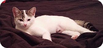 Domestic Shorthair Kitten for adoption in Mayflower, Arkansas - Elsa