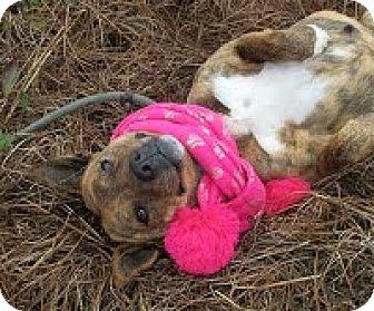 Boxer/Mountain Cur Mix Dog for adoption in Darlington, South Carolina - Charma