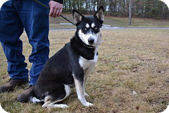 Husky Mix Dog for adoption in Brookhaven, New York - Catalaya