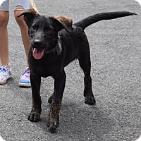 Adopt A Pet :: *Brent - PENDING - Westport, CT