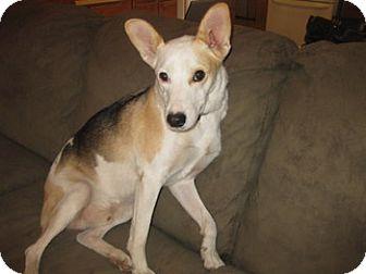 Australian Shepherd/Terrier (Unknown Type, Medium) Mix Dog for adoption in San Antonio, Texas - Wally