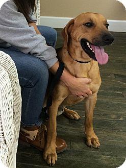 Labrador Retriever Mix Dog for adoption in Boston, Massachusetts - Buckley