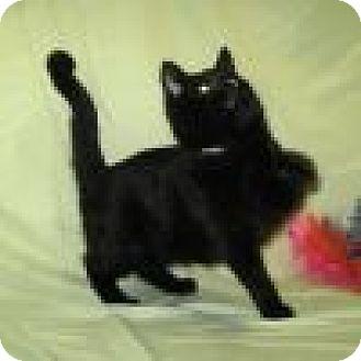 Domestic Shorthair Cat for adoption in Powell, Ohio - Whisper