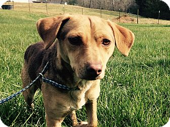 Beagle/Shepherd (Unknown Type) Mix Dog for adoption in Powder Springs, Georgia - Jazz