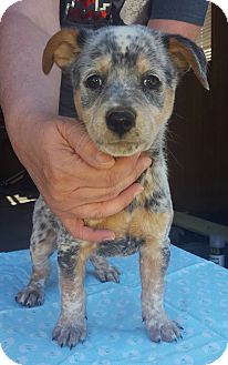 Blue Heeler/Beagle Mix Puppy for adoption in Buffalo, New York - Henry