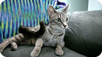 Domestic Shorthair Cat for adoption in Columbus, Ohio - Cupcake