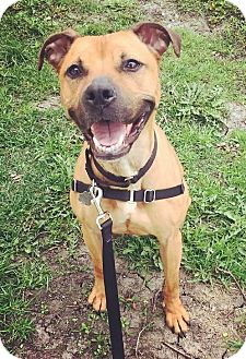 Boxer/Pit Bull Terrier Mix Dog for adoption in Oak Park, Illinois - Coco