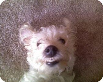 Schnauzer (Miniature)/Jack Russell Terrier Mix Dog for adoption in Sacramento, California - Lillian