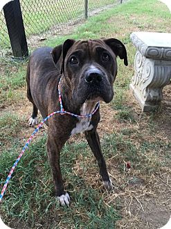 American Pit Bull Terrier Mix Dog for adoption in Colonial Heights, Virginia - Eva