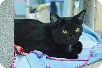 Domestic Shorthair Cat for adoption in Evansville, Indiana - Sadie