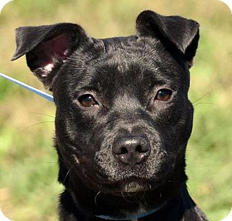 American Pit Bull Terrier Mix Puppy for adoption in New Haven, Connecticut - MIDNIGHT