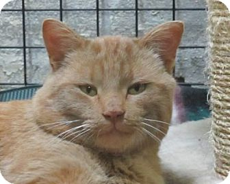 Domestic Shorthair Cat for adoption in Lloydminster, Alberta - Rob