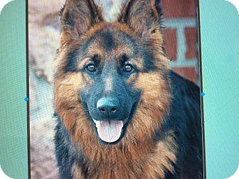 German Shepherd Dog Puppy for adoption in Los Angeles, California - CARLA VON COSCINA