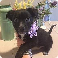Adopt A Pet :: Maddie - Fair Oaks Ranch, TX