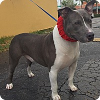 Adopt A Pet :: Stitch - Hialeah, FL