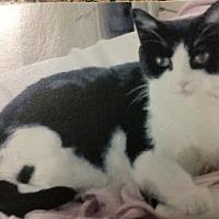Adopt A Pet :: Sheba - Phoenix, AZ