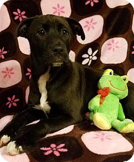 Labrador Retriever Mix Puppy for adoption in Elkton, Maryland - Dixie (Adoption Fee $100)
