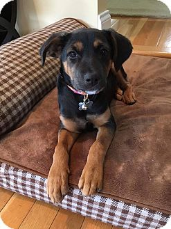 Labrador Retriever/Shepherd (Unknown Type) Mix Puppy for adoption in Middlesex, New Jersey - MInnie
