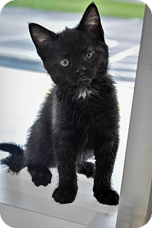 Domestic Shorthair Kitten for adoption in Prince George, Virginia - Thomas