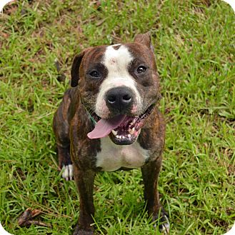 Pit Bull Terrier Mix Dog for adoption in Brooksville, Florida - 10311698