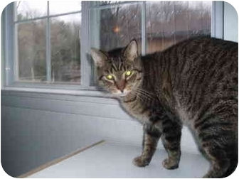 Domestic Shorthair Cat for adoption in Hamburg, New York - No Collar