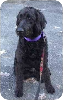 Golden Retriever/Poodle (Standard) Mix Dog for adoption in Naugatuck, Connecticut - Mitchell