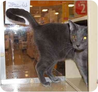 Russian Blue Cat for adoption in Modesto, California - Cliffie