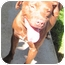 Photo 4 - American Pit Bull Terrier/Labrador Retriever Mix Dog for adoption in Poway, California - Buster Brown