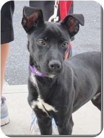 Rat Terrier Mix Puppy for adoption in Beacon, New York - Cappy