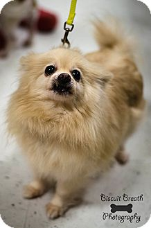 Pomeranian Dog for adoption in Howell, Michigan - Sugar Cookie