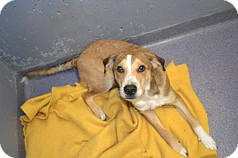 Hound (Unknown Type)/Labrador Retriever Mix Dog for adoption in Edwardsville, Illinois - Krypto