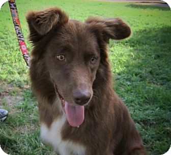 Australian Shepherd Dog for adoption in Frisco, Texas - Amber
