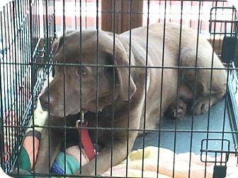 Labrador Retriever Mix Dog for adoption in Seattle, Washington - Qwest